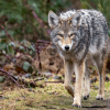 6 Tips for Coexisting with the Eastern Coyote in NH